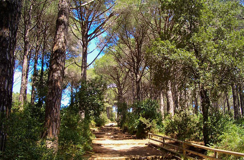 The Pine Forests in Ischia